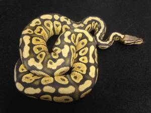 Adult Pastel Ghost Yellow Bell Male